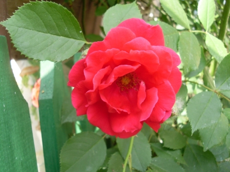 o roză din grădina mea
