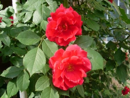2 flori îndrăgostite