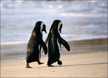 doi-pinguini-49685